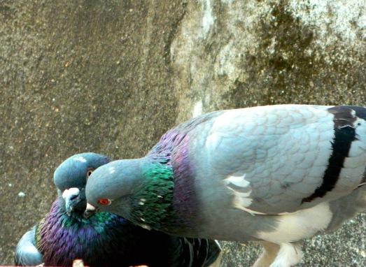 Kissing Pigeons