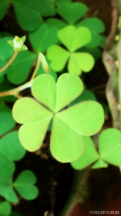 Clovers again