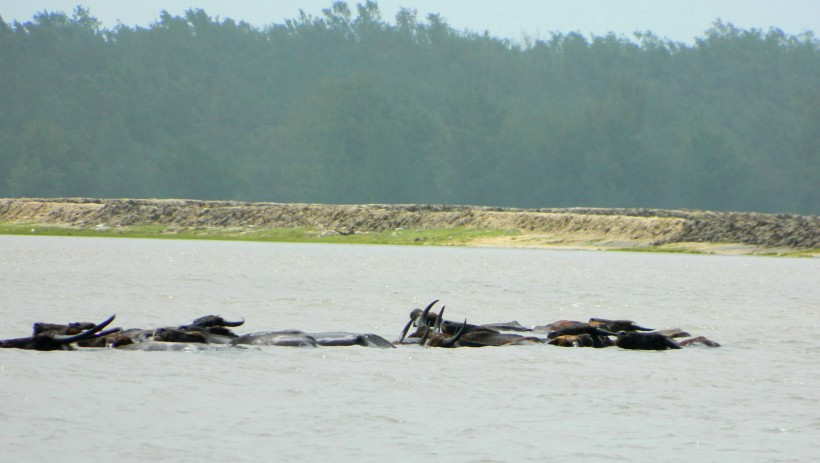 Buffaloes bathing